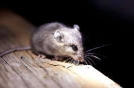 box-mouse